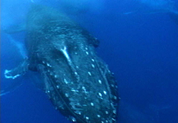 Humpback whale close up