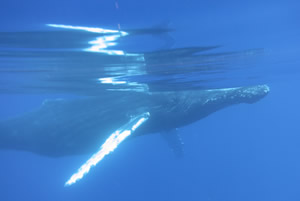 Humpback Behavior
