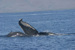 Identifying humpbacks